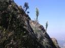 Flor de Chagual