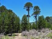 Ingresando al bosque de araucarias