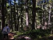 Bosque de Coihue