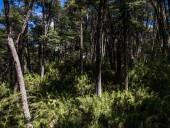 Bosque de araucarias y coihues