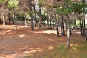 Bosque de Pinos cerca del puente peatonal.