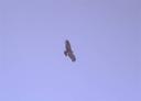 Condor en el Cerro la Parva