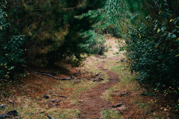 Camino entre pinos